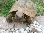 Griechische Landschildkröte adult