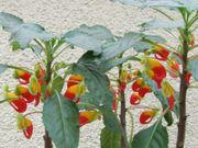 seltene schöne große Impatiens Congolensis -