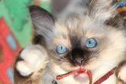 Entzückende Ragdoll Kitten