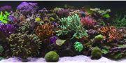 Korallenableger SPS ab