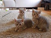 BKK Kitten reinrassig