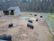 Verschiedene zahme Hängebauchschweine!