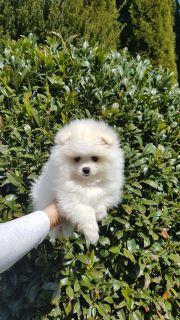 Zwergspitz Pomeranian weiß