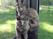 Reinrassige Maine Coon Kitten suchen