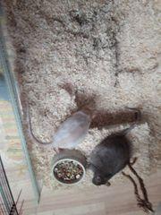 2 und 1 Ratte