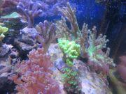 Korallenableger Meerwasser