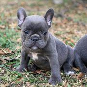 Wunderschöne Französische Bulldoggen Welpen gxvgd