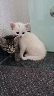 Verkaufe Kätzchen