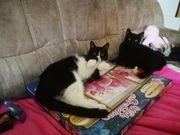 Katzen Paar