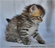 Sibirische Katzen Kinder