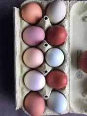 Brutier meiner bunten Hühnertruppe Blau-