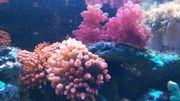 Meerwasser Anemonen und