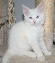 Maine Coon Kitten - weiße Flauschkugel
