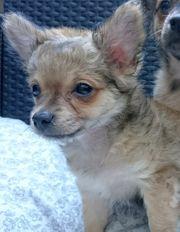 Langhaar Chihuahua Yorki