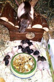 Rattenbabys suchen liebevolles Zuhause