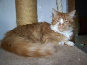 Traumhafter reinrassiger Maine Coon Kater