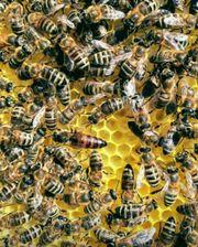 Bienen, Bienenvolk