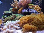 Meerwasser Korallen abzugeben