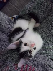 Halbpersische Kätzchen suchen