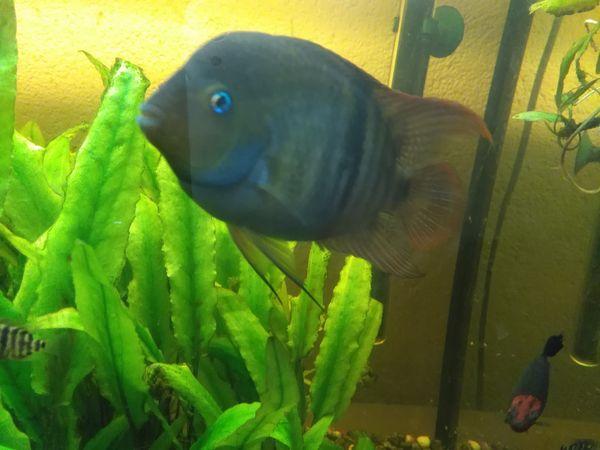 Aquaristik in rettenbach kreis g nzburg bei deinetierwelt for Kleine zierfische