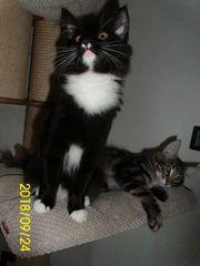 Norwegische Waldkatzen Kitten m Stammbaum
