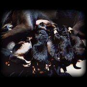 Labrador schäferhund windhund mix