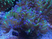 Meerwasser Anemonen Korallen Ableger SPS