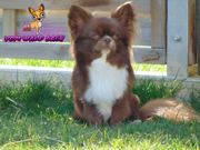 Champion Chihuahua Deckrüde der Extraklasse