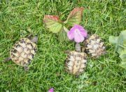 griechische Landschildkröte Schildkröten ab 60 -