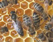 Bienen Ableger Carnica