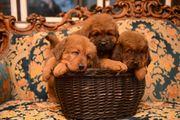 mastif tibetan welpen geboren 20