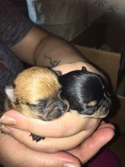 Reinrassige Chihuahua Welpen