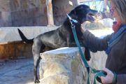 Sam, lieber Labrador