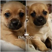 Kleinbleibende, niedliche Chihuahua-