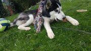 Wunderschöner Husky Welpe/