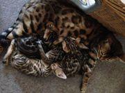 Bengal Kitten, Bengal,