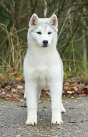 2 Siberian Husky