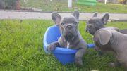 Französische Bulldogwelpen