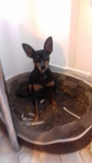 1 pinscher in
