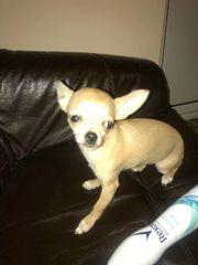 Chihuahua 3 monate