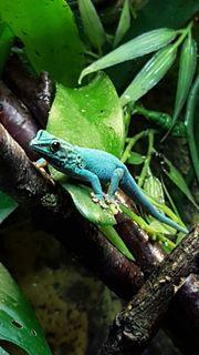 Lygodactylus williamsi 2.