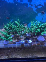 Diverse Korallen Zoa