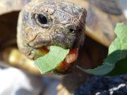 Griechische Landschildkröten Landschildkröte Schildkröten