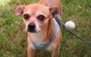 Meli Chihuahua Mix Hündin ca