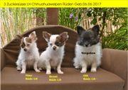 2 Süsse Chihuahuawelpen