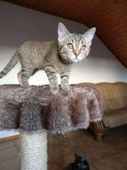 Kätzchen sucht Schmuseherrchen/-