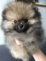 Zwegspitz Pomeranian Boo Luxus