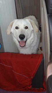 Junger Labrador/Hirtenhund-