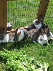 Kaninchen , Zwergkaninchen