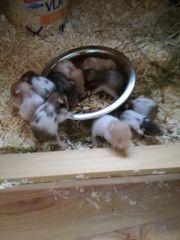 Teddyhamster Babys in